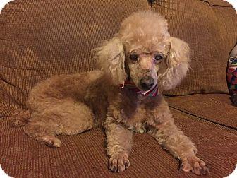 Poodle (Miniature) Mix Dog for adoption in St. Francisville, Louisiana - Maci