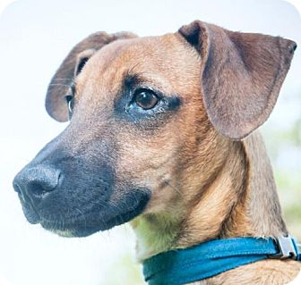Smooth Fox Terrier Mix Dog for adoption in Houston, Texas - Lucas