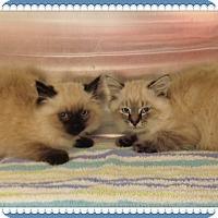 Himalayan Kitten for adoption in Marietta, Georgia - LINUS & CHARLIE BROWN