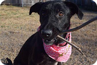 Labrador Retriever/Border Collie Mix Puppy for adoption in Aubrey, Texas - Kodiak
