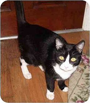 Domestic Mediumhair Cat for adoption in Madisonville, Louisiana - Clooney