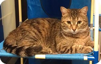 Domestic Shorthair Cat for adoption in Greenville, South Carolina - Rose