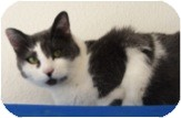 Domestic Shorthair Cat for adoption in El Cajon, California - Rita