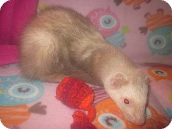 Ferret for adoption in Toledo, Ohio - Rocky