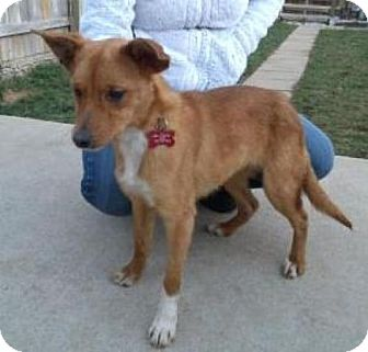 ... | Adopted Dog | Louisville, KY | Basenji/Jack Russell Terrier Mix