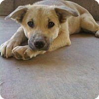 Adopt A Pet :: Tiffany - Only $85 adoption! - Litchfield Park, AZ