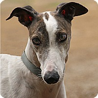 Adopt A Pet :: Shaelee - Portland, OR