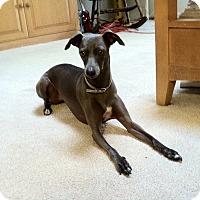 Adopt A Pet :: Libby - OC - Costa Mesa, CA