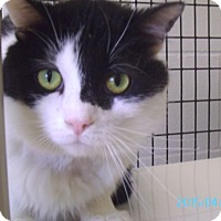 Domestic Shorthair Cat for adoption in Muscatine, Iowa - Bulls Eye