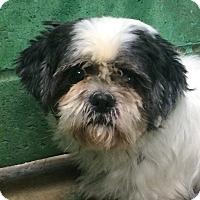 Adopt A Pet :: Lace - Oak Ridge, NJ