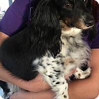 Adopt A Pet :: Harper - Humble, TX