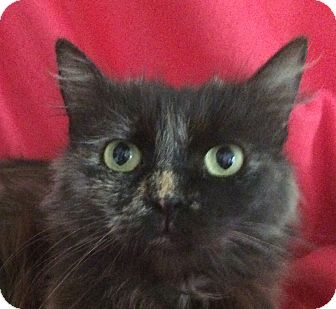 Domestic Longhair Cat for adoption in Winchester, California - Maggie
