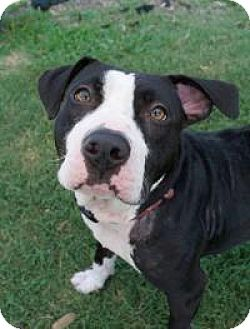 American Staffordshire Terrier Mix Dog for adoption in Chattanooga, Tennessee - Billie