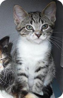 Domestic Shorthair Kitten for adoption in Waupaca, Wisconsin - Kaya