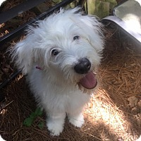 Adopt A Pet :: Allie - Atlanta, GA