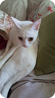 Domestic Shorthair Cat for adoption in Homewood, Alabama - Itsy