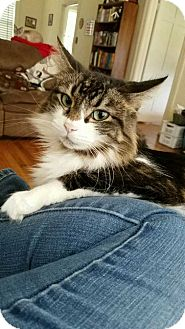 Domestic Mediumhair Cat for adoption in Fayetteville, Tennessee - Chloe
