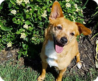 Chihuahua/Pomeranian Mix Dog for adoption in Dayton, Ohio - Shayla - Louisville, Ky