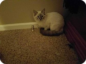 Siamese Cat for adoption in Mackinaw, Illinois - Poppy