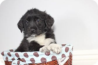 Great Pyrenees Mix Puppy for adoption in Plainfield, Illinois - Foxy