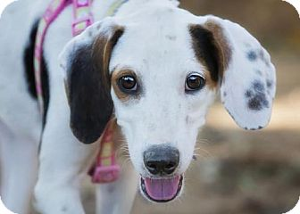 Treeing Walker Coonhound Mix Puppy for adoption in El Cajon, California - Haven