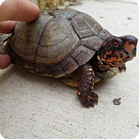 Turtle - Other for adoption in San Marcos, Texas - Finn
