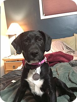 Labrador Retriever Mix Puppy for adoption in Phoenix, Arizona - Madison