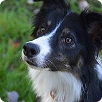 Border Collie Dog for adoption in All Cities, South Carolina - Conway