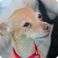Chihuahua Mix Dog for adoption in Palm Springs, California - Ginger