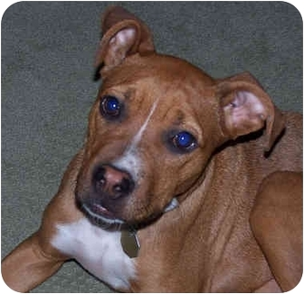 Pit Bull Terrier/Boxer Mix Puppy for adoption in All of Colorado, Colorado - ASAP <b>Tucker</b>