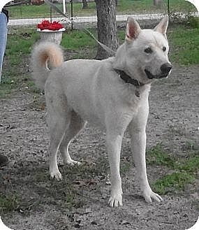 Akita/German Shepherd Dog Mix Dog for adoption in SAN ANTONIO, Texas - TEXAS