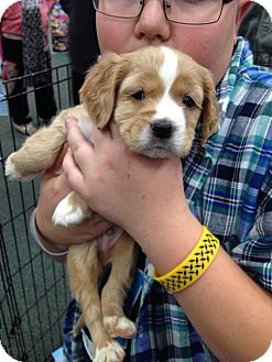 Cocker Spaniel/Golden Retriever Mix Puppy for adoption in Youngstown, Ohio - Buster ~ Adoption Pending