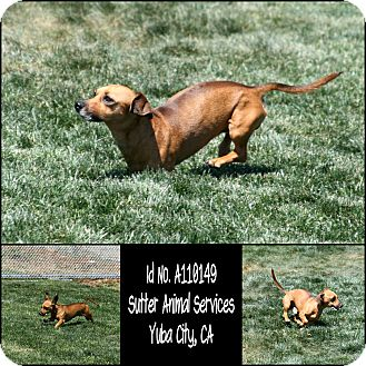 Dachshund Mix Dog for adoption in Yuba City, California - 04/15 Unnamed