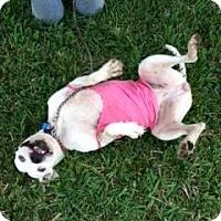 American Bulldog Dog for adoption in Miami, Florida - Brandy