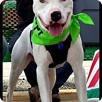 Adopt A Pet :: Blu - Elderton, PA