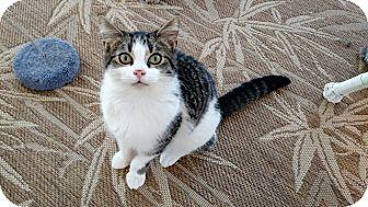 Domestic Shorthair Cat for adoption in Wakinsville, Georgia - Raz