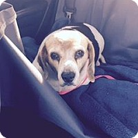 Adopt A Pet :: Sadie Rose - Phoenix, AZ