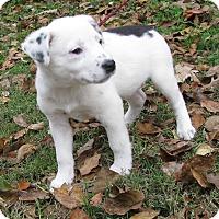 Adopt A Pet :: Abra - Bedminster, NJ