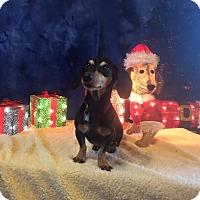 Adopt A Pet :: Mr. Jingles - Marcellus, MI
