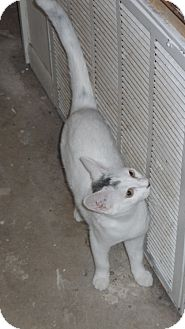 American Shorthair Cat for adoption in Pensacola, Florida - mo