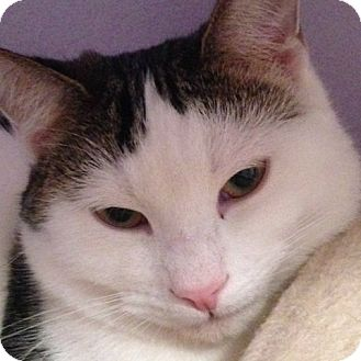 Domestic Shorthair Cat for adoption in Toronto, Ontario - Whippet
