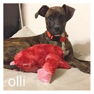 Plott Hound Mix Puppy for adoption in Dallas, Texas - Olli