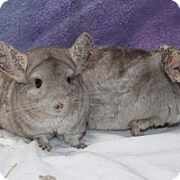 Chinchilla for adoption in Montclair, California - Ming