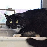 Domestic Longhair Cat for adoption in Denver, Colorado - Disney