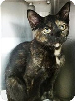 Domestic Shorthair Cat for adoption in Atlantic City, New Jersey - Edith