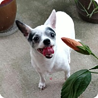 Chihuahua Dog for adoption in Mary Esther, Florida - Cici