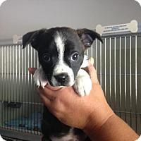 Adopt A Pet :: Aidan - Cashiers, NC
