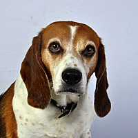 Adopt A Pet :: Cooper Beagle - St. Louis, MO