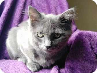 Russian Blue Cat for adoption in Cookeville, Tennessee - Torvi - COURTESY LISTING