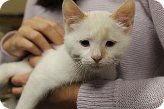Siamese Kitten for adoption in Washington, D.C. - Deacon